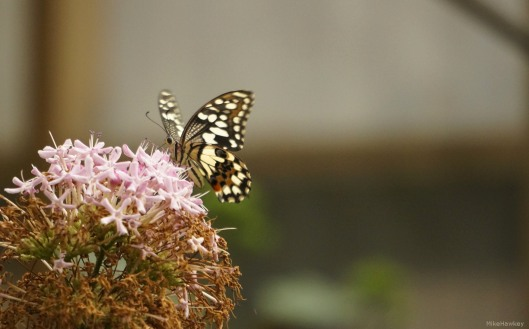 Butteryfly on Flower