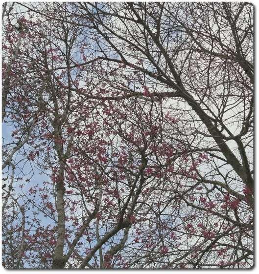 Pink flowered winter tree