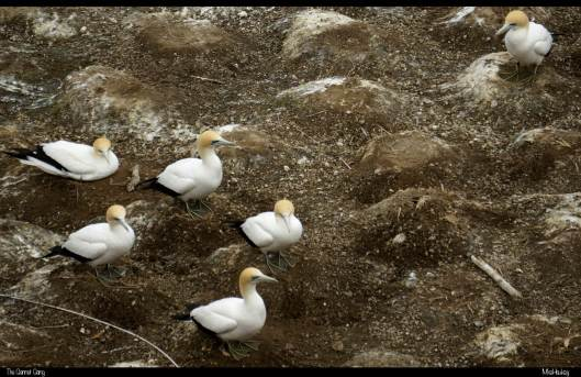 The Gannet Gang