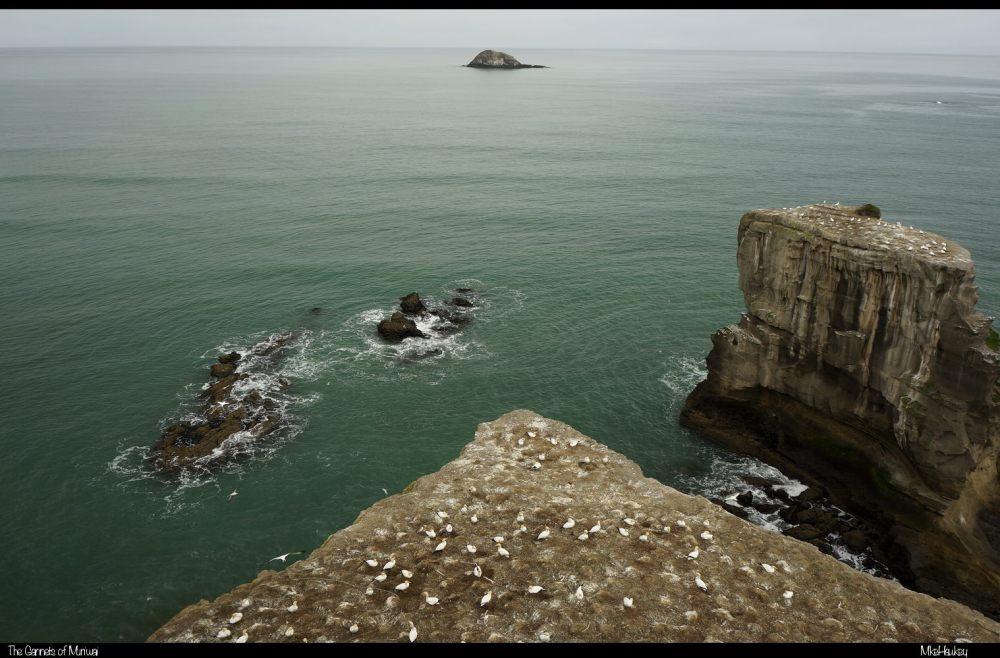 The Gannets of Muriwai
