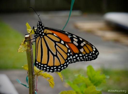 butteryfly1