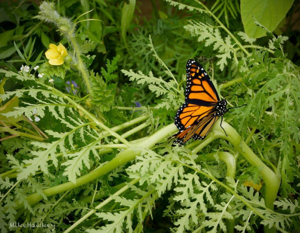 butteryfly2