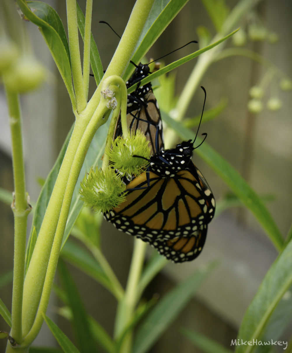 Butteryfly3