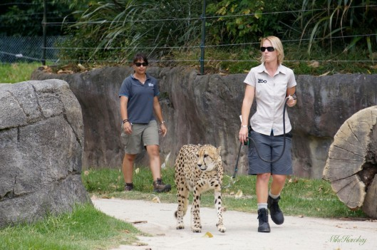 Cheeta 1