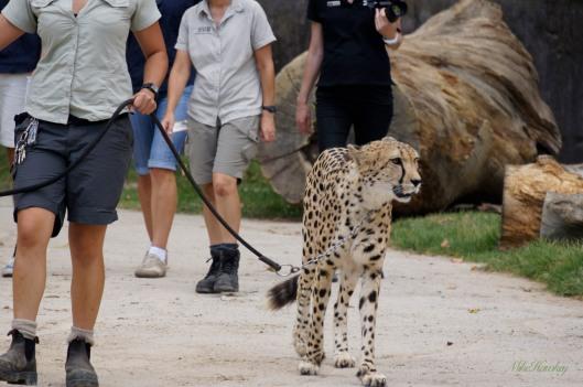 Cheeta 2