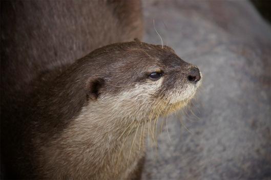Otter1