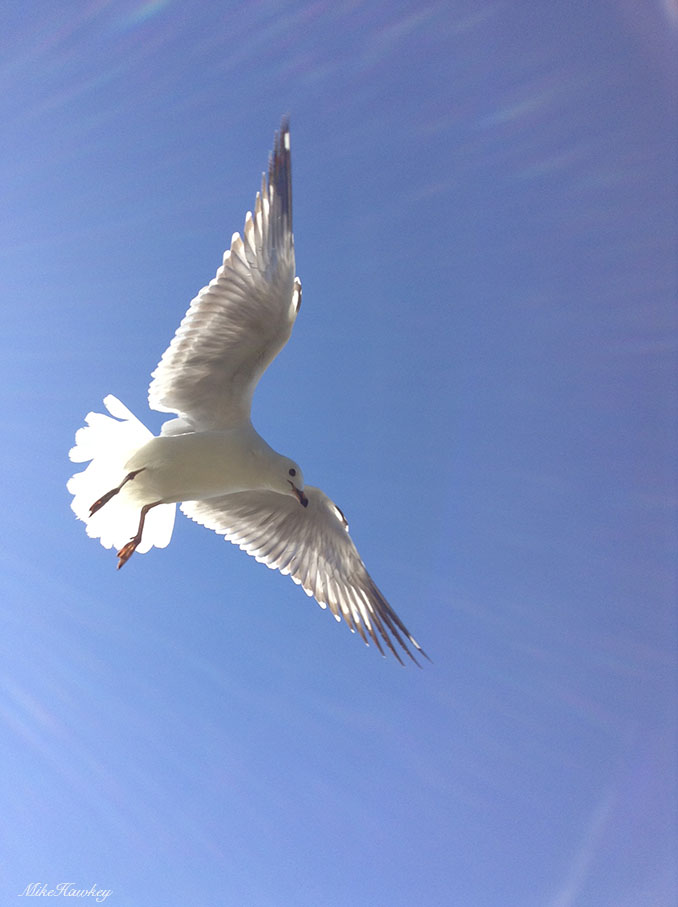 seagull final