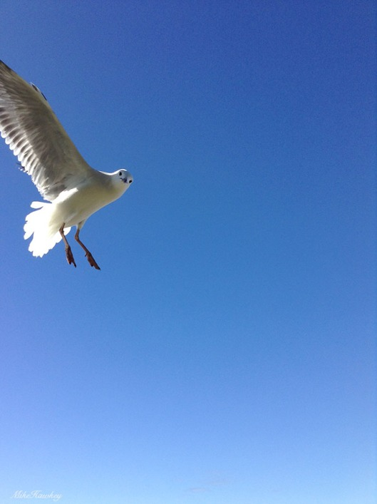 seagull7