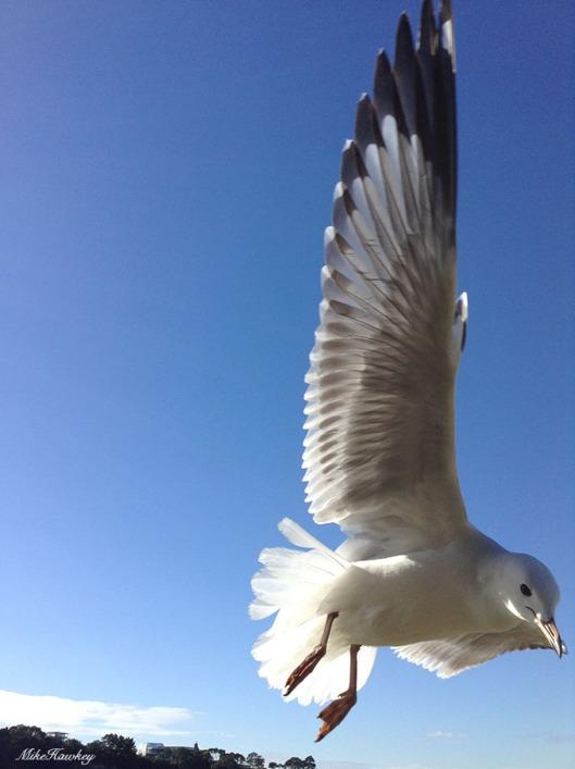 seagull8